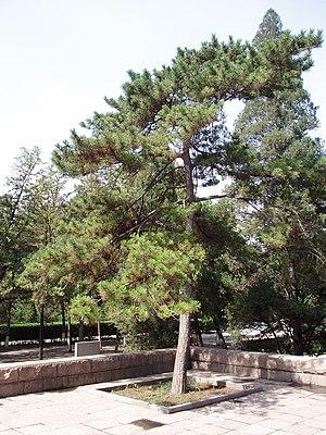 Pinus tabuliformis - Image: Pinus Tabulaeformis 4