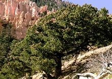 Pinus edulis í Bryce Canyon National Park