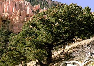 Pinus edulis - Colorado pinyons at Bryce Canyon National Park