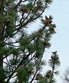 Pinus jeffreyi foliage cones.jpg