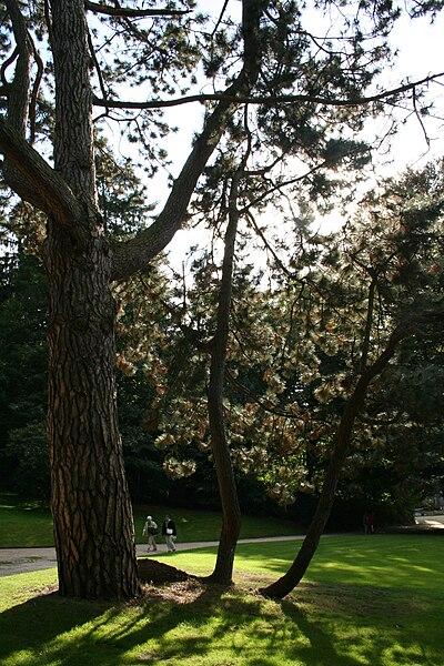 Austrian Pine.