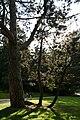 Pinus nigra JPG4Ab.jpg