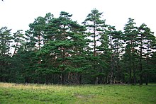 220px-Pinus_sylvestris_hamata_Babugan Trees - The Scots Pine - Pinus sylvestris