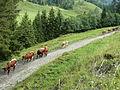 Pinzgauer Rinder im Wolfbachtal 2.JPG