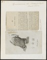 Pipa americana - 1700-1880 - Print - Iconographia Zoologica - Special Collections University of Amsterdam - UBA01 IZ11500259.tif