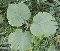 Piper umbellatum (20738732456).jpg