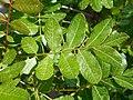 Pistacia terebinthus 2017-05-23 0926.jpg