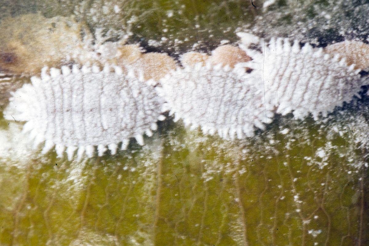 plante à huitre