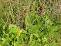 Plantago major winteri.jpeg