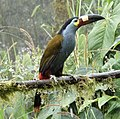 Plate-billed Mountain-toucan (47057429704).jpg