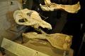 Platybelodon grangeri 02-17 400 (2).tif