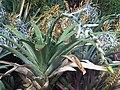 Poales - Vriesea amethystina 6.jpg