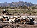 Poblador pastoreando un rebaño de cabras..jpg