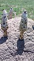 Podaxis pistillaris (L.) Fries 579340.jpg