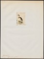 Podiceps chilensis - 1845-1863 - Print - Iconographia Zoologica - Special Collections University of Amsterdam - UBA01 IZ17800111.tif