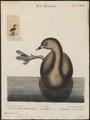 Podilymbus podiceps - 1700-1880 - Print - Iconographia Zoologica - Special Collections University of Amsterdam - UBA01 IZ17800117.tif