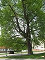 Pohorská Ves, památný strom.jpg