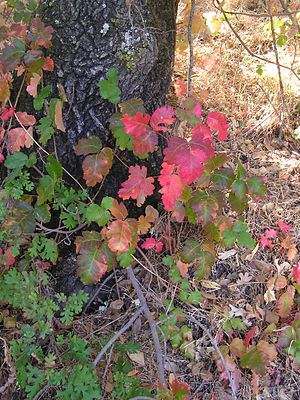 Toxicodendron diversilobum - Pacific poison oak (larger leaves) at base of an oak tree