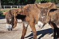 Poitou Donkey 2865.jpg
