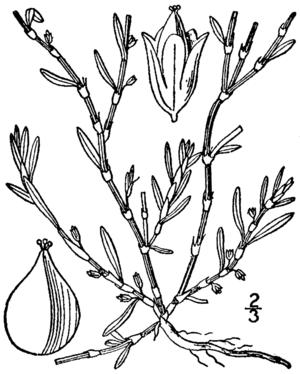 Polygonum glaucum - Image: Polygonum glaucum BB 1913