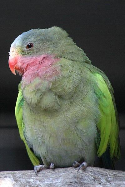 Haruldased ja huvitavad linnud müügil 400px-Polytelis_alexandrae_-6