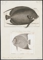 Pomacanthus paru - 1700-1880 - Print - Iconographia Zoologica - Special Collections University of Amsterdam - UBA01 IZ13100251.tif