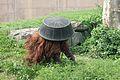 Pongo abelii at the Philadelphia Zoo 004.jpg