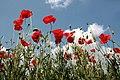 Poppy Field in Suffolk.jpg