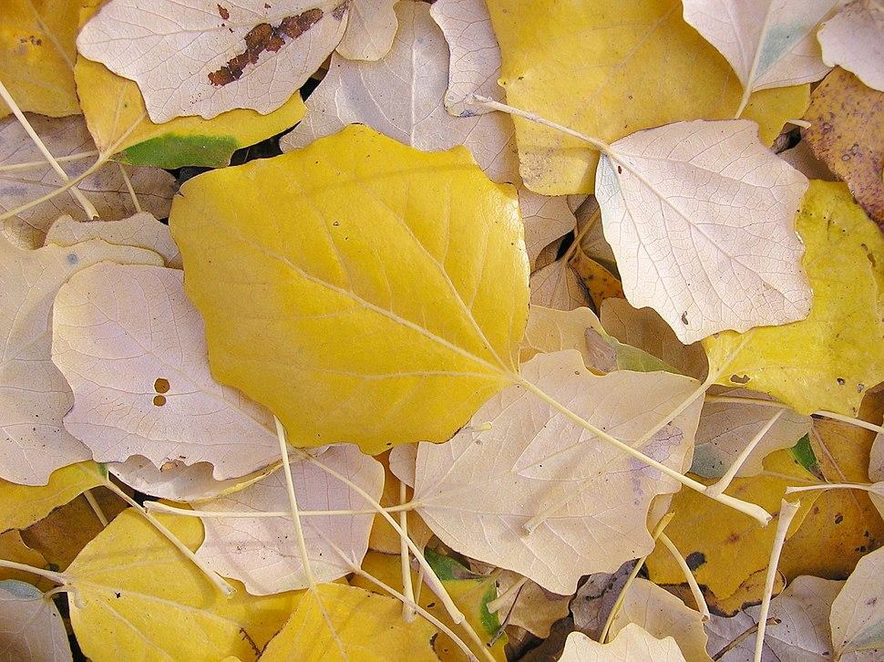 Populus × canescens (fall foliage)