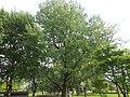 Populus Canescens - Grauwe Abeel.JPG