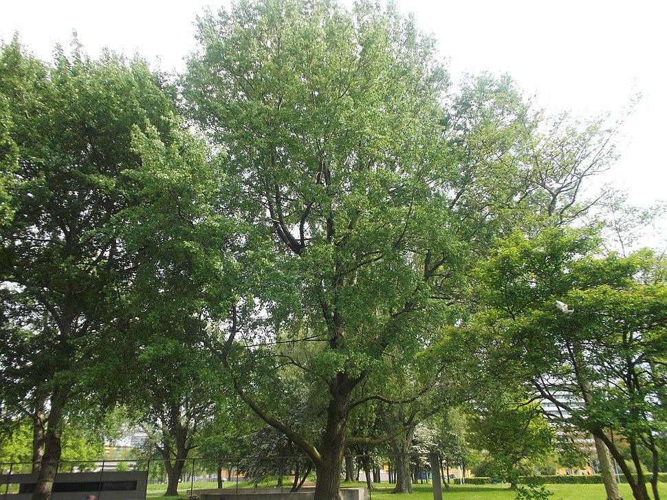 Populus Canescens - Grauwe Abeel