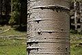 Populus tremuloides - Flickr - aspidoscelis.jpg