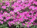 Porto Alegre, Brazil - Rhododendron evergreen azalea group - 2013-09-15.JPG