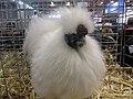Poule soie blanche.jpg