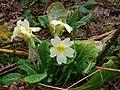 Primrose (Primula vulgaris) (4447055135).jpg