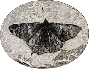 Mutation - Prodryas persephone, a Late Eocene butterfly