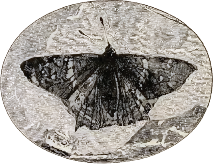 1887 engraving of Prodryas persephone, a fossil lepidopteran from the Eocene. Prodryas.png