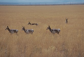 Catlow Valley - Pronghorn in a Catlow Valley field