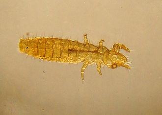 Entognatha - Proturan specimen (Acerentomon sp.)