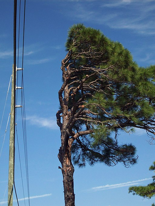 Pruned pine by power lines