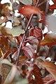 Prunus Krauter Vesuvius 2zz.jpg