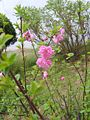 Prunus triloba var. truncata 04.JPG