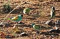 Psephotus dissimilis -Northern Territory, Australia -four-8.jpg
