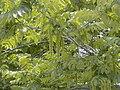 Pterocarya fraxinifolia RJB.jpg