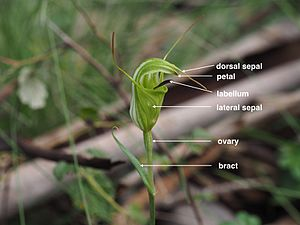 Pterostylis - Labelled diagram of Pterostylis metcalfei