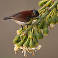 Purple-rumped Sunbird (Leptocoma zeylonica)- Male on Kapok (Ceiba pentandra) in Kolkata W IMG 3930.jpg