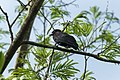 Purple-throated Fruitcrow - Darien - Panama (48444338631).jpg