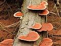 Pycnoporus sanguineus2.jpg