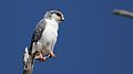 Pygmy falcon, or African pygmy falcon, Polihierax semitorquatus, at Kgalagadi Transfrontier Park, Northern Cape, South Africa. (34384165881).jpg