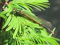 Pyrrhosoma nymphula (Large Red Damselfly), Nijmegen, the Netherlands - 3.jpg